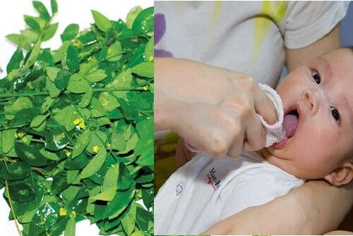 Rau ngót tươi giã vắt lấy nước, thấm vào gạc đánh vòm miệng và lưỡi chữa tưa lưỡi ở trẻ sơ sinh